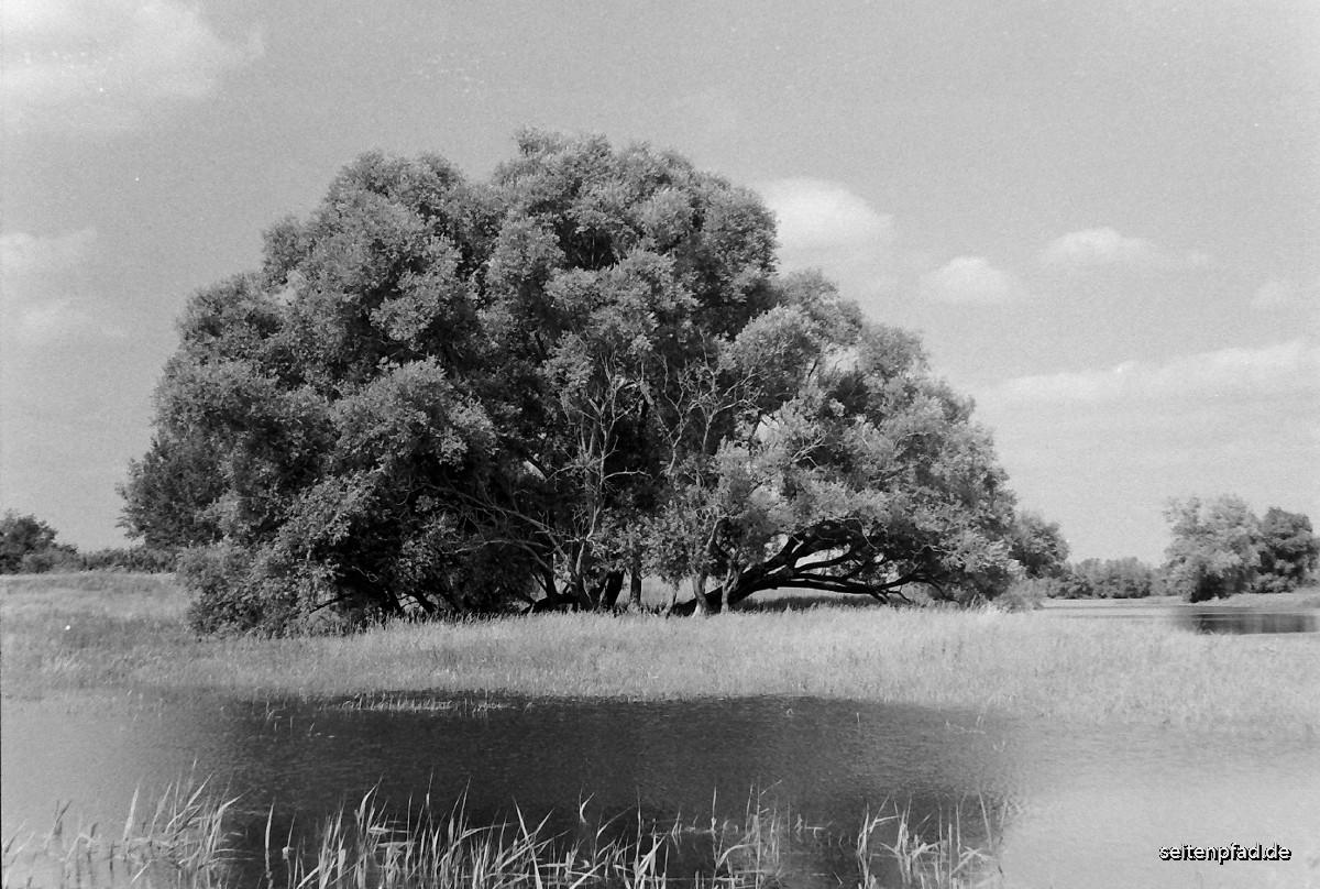 Alte Weide in den Elbwiesen bei Bleckede.