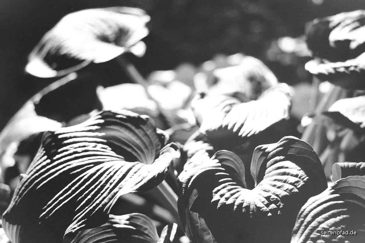 Blätter einer Hosta, 135 mm Bl. 2,8, Graufilter