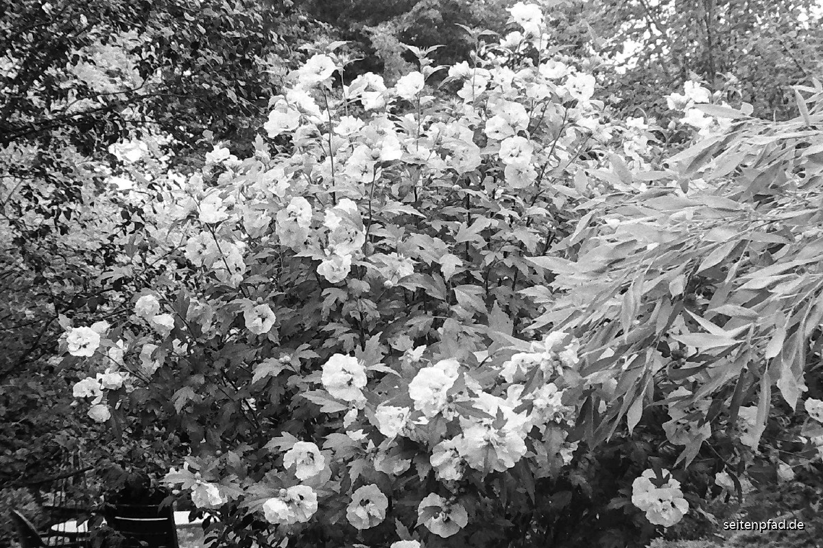 Hibikusblüten und Bambus, Rotfilter