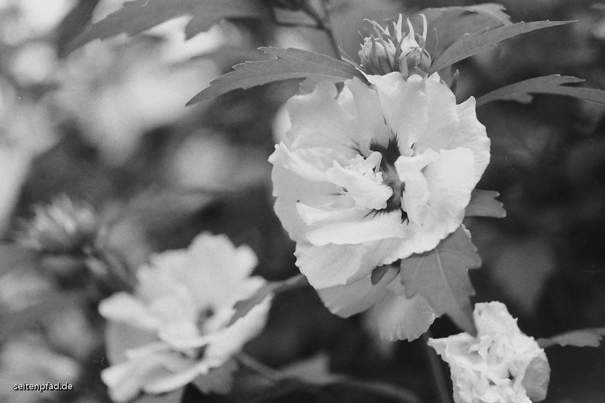 Hibiskusblüte, Rotfilter