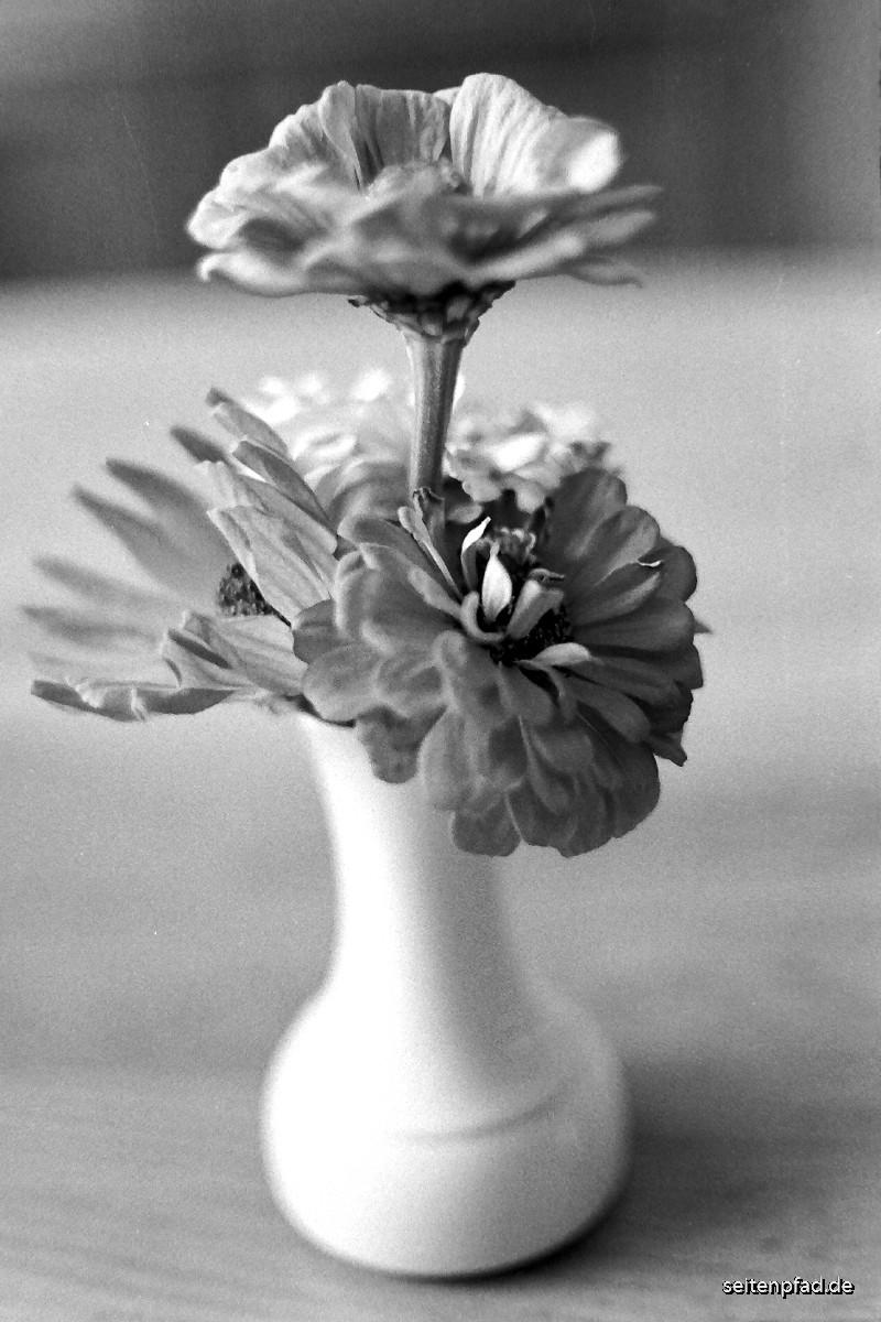 Zinnienblüten in einer Vase.