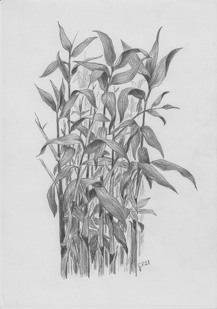 Bambus Pseudosasa Japonica Zeichnung mit Bleistiften B2 Din A4