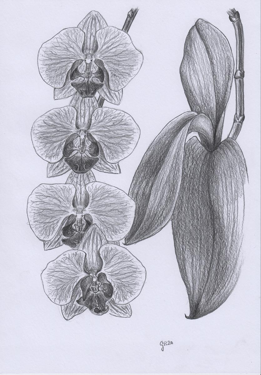 Orchideenblüten Zeichnung mit Bleistiften B2/B4 Din A4
