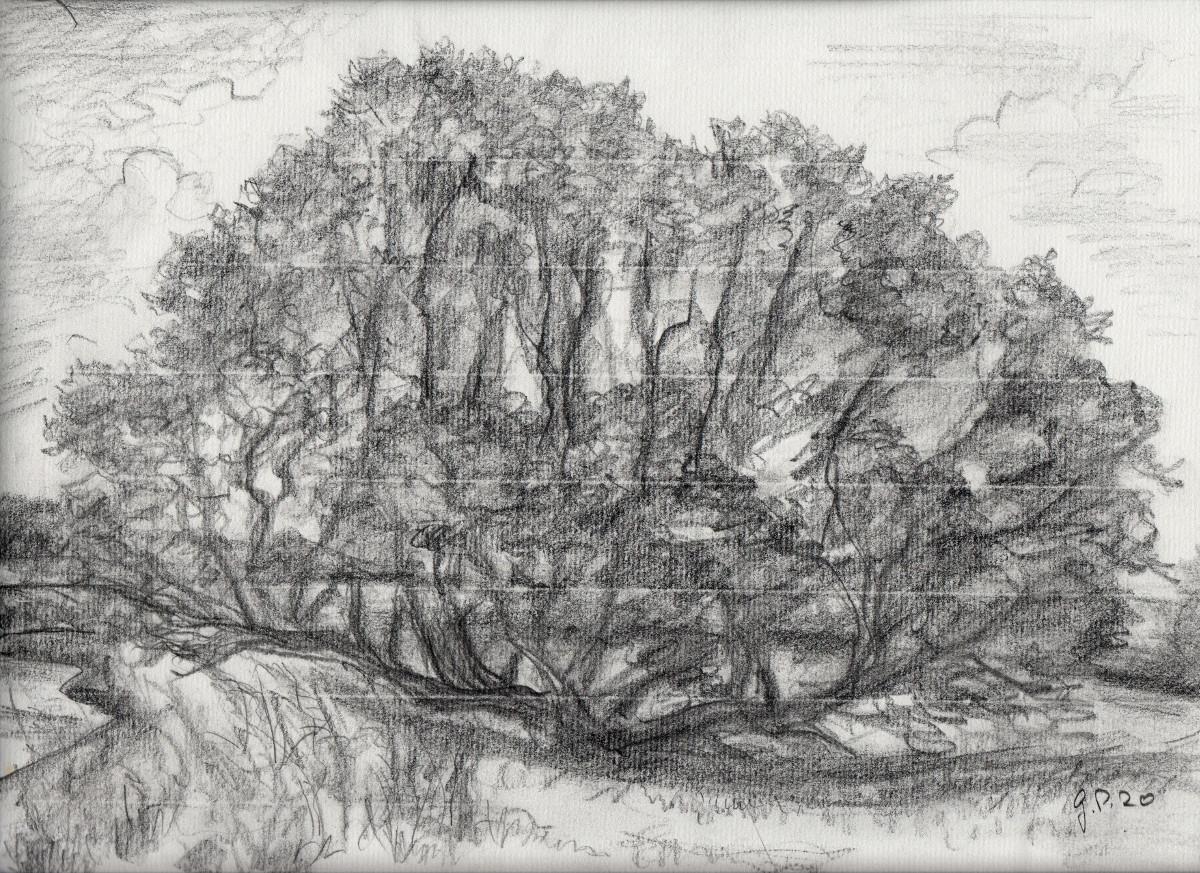 Alte Weide, Zeichnung mit Bleistift auf Ingrespapier