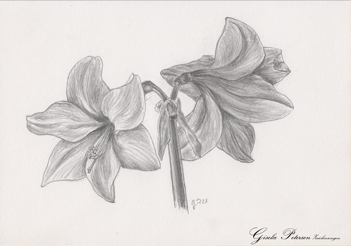 Amaryllenblüten Zeichnung mit Bleistiften B2 DIN A5
