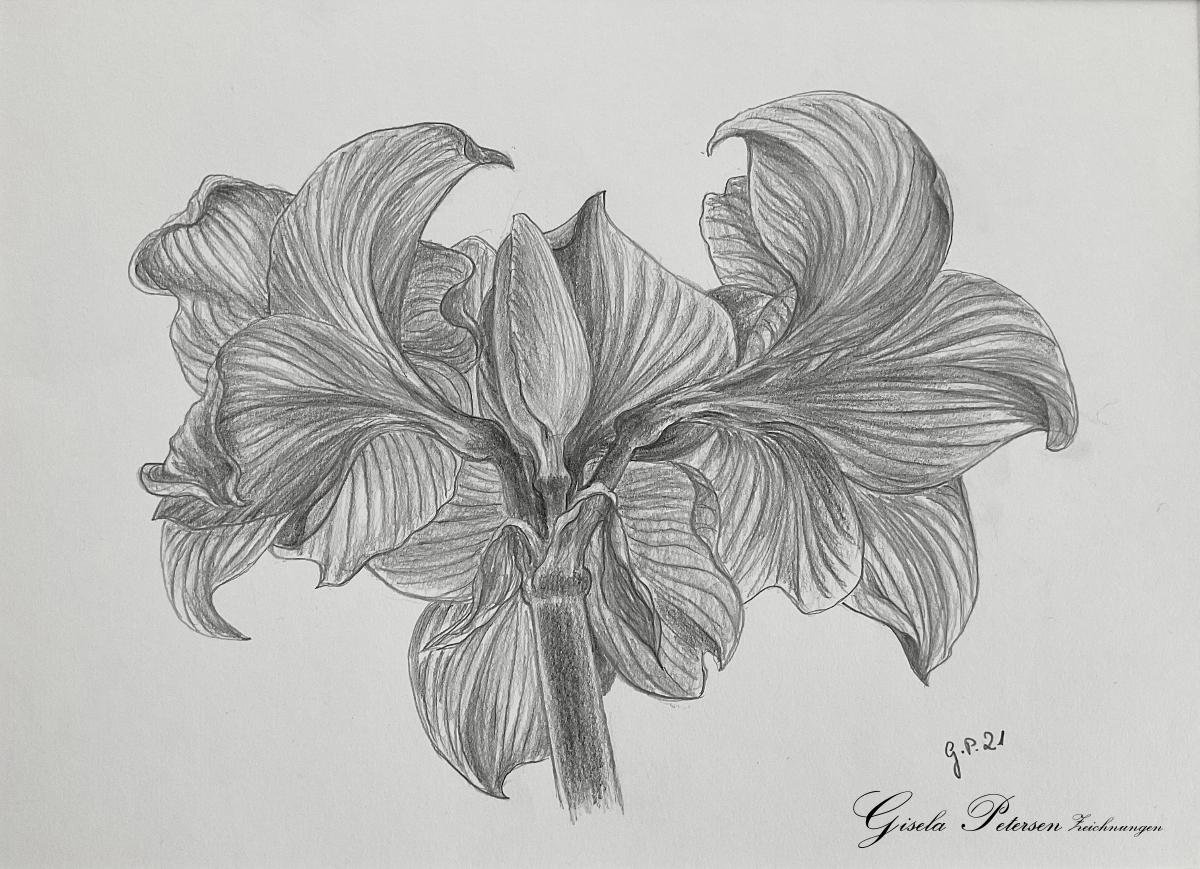 Amaryllenblüten in der Rückansicht Zeichnung mit Bleistiften B2/B4 DIN A3