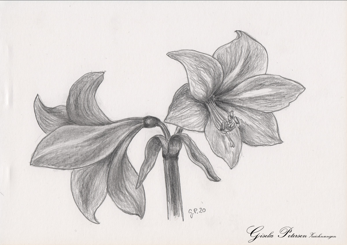 Amaryllenblüten Zeichnung mit Bleistiften B2/B4 DIN A5