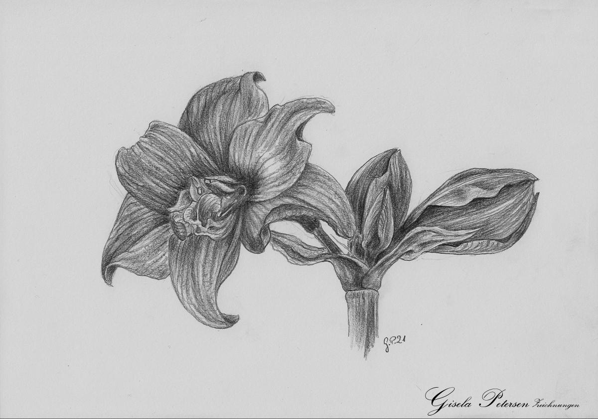 gefüllte Amaryllenblüten Zeichnung mit Bleistiften B4 DIN A4
