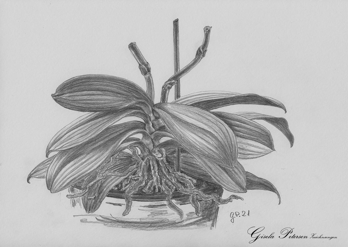 Blattwerk einer Orchidee Zeichnung mit Bleistiften B2 DIN A4