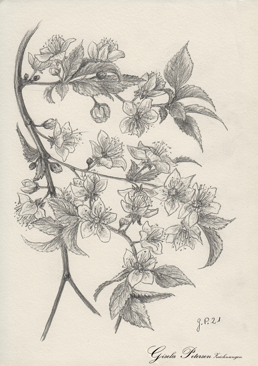 Blutpflaume, Zeichnung mit Bleistiften B2 DIN A5