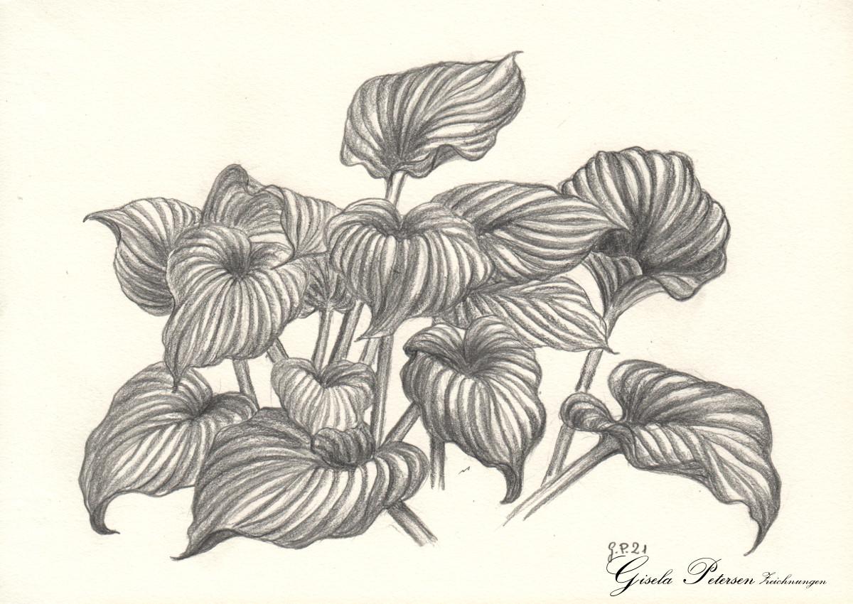 Funkie (Hosta), Zeichnung mit Bleistift B/2B DIN A 5