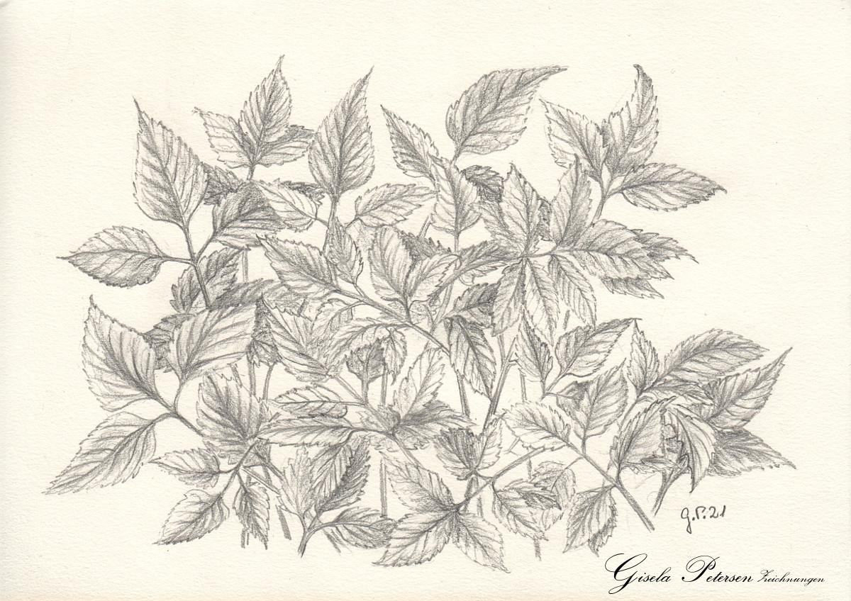 Junger Giersch, Zeichnung mit Bleistiften B/B2 DIN A5