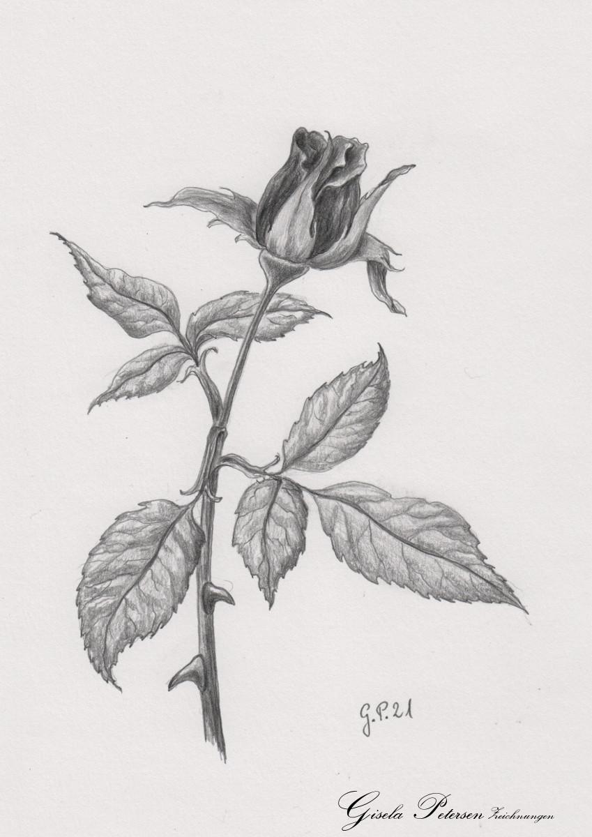Knospe einer Rose, Zeichnung mit Bleistift 2B DIN A 5