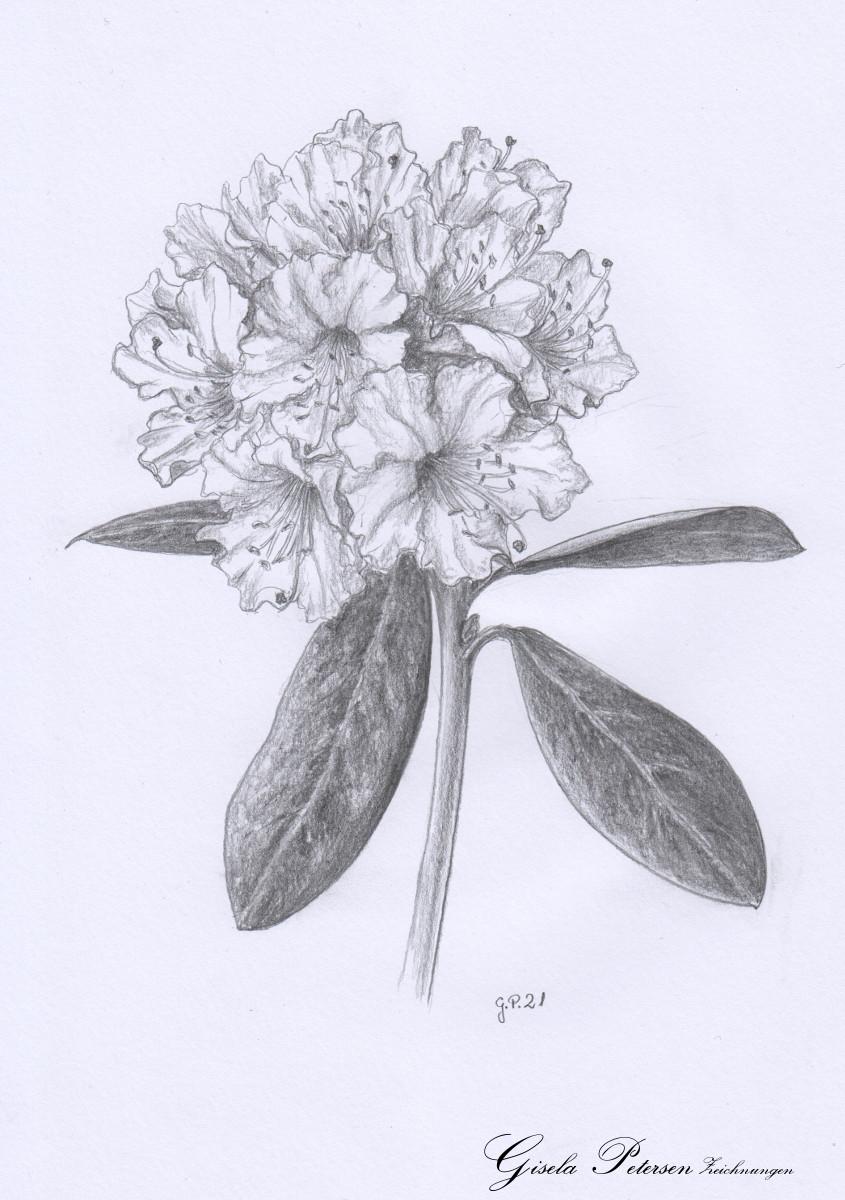 Rhododendronblüte, Zeichnung mit Bleistiften B DIN A4