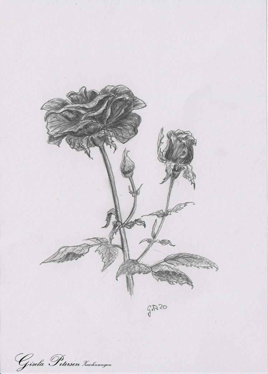 Rosenblüte mit Knospen Zeichnung mit Bleistiften B2/B4 Din A5