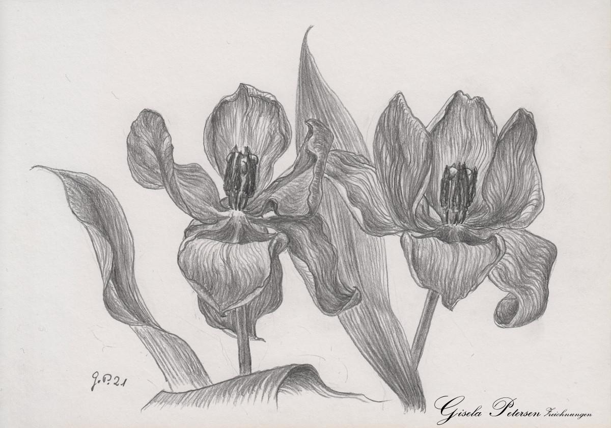Tulpenblüten, Zeichnung mit Bleistift B2 DIN A5