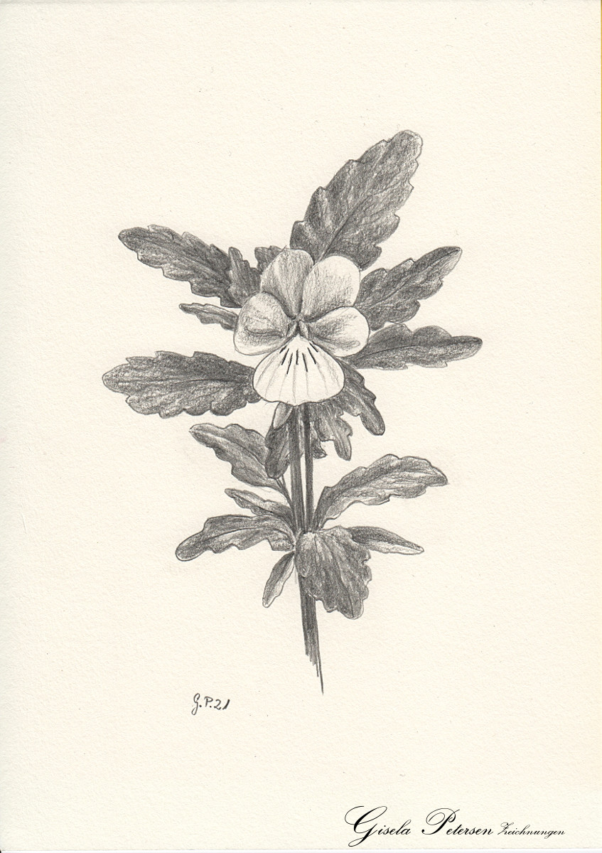 Viola tricolor, Zeichnung mit Bleistift B DIN A 5