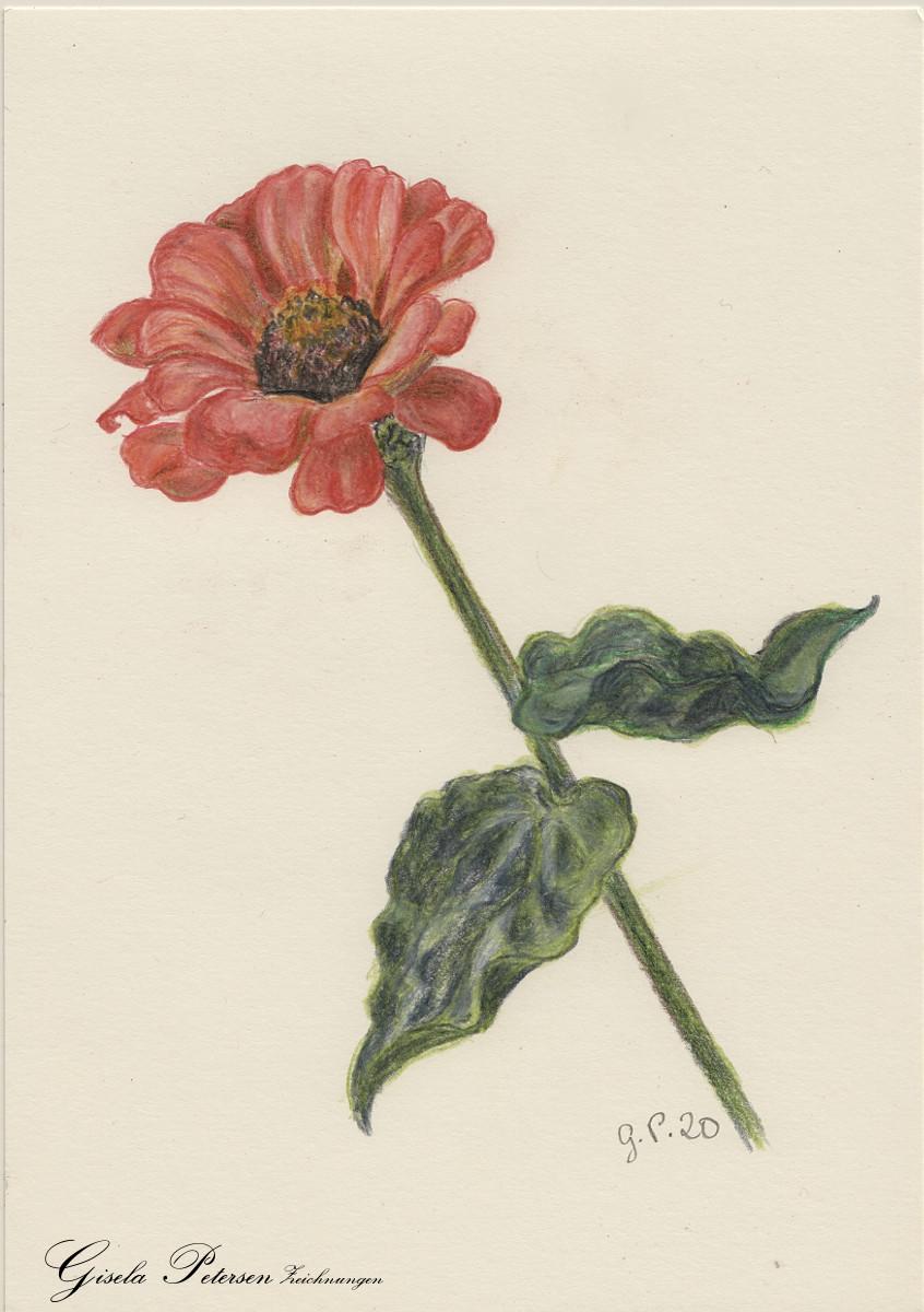 Zinnienblüte Zeichnung mit Buntstiften (Faber Castell) DIN A5
