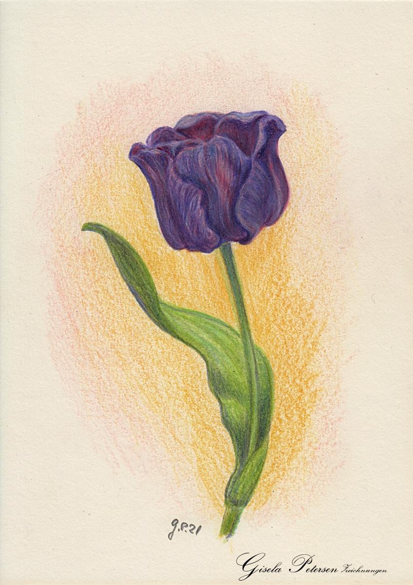 blauviolette Tulpenblüte, Zeichnung mit Buntstiften (Faber Castell) DIN A5