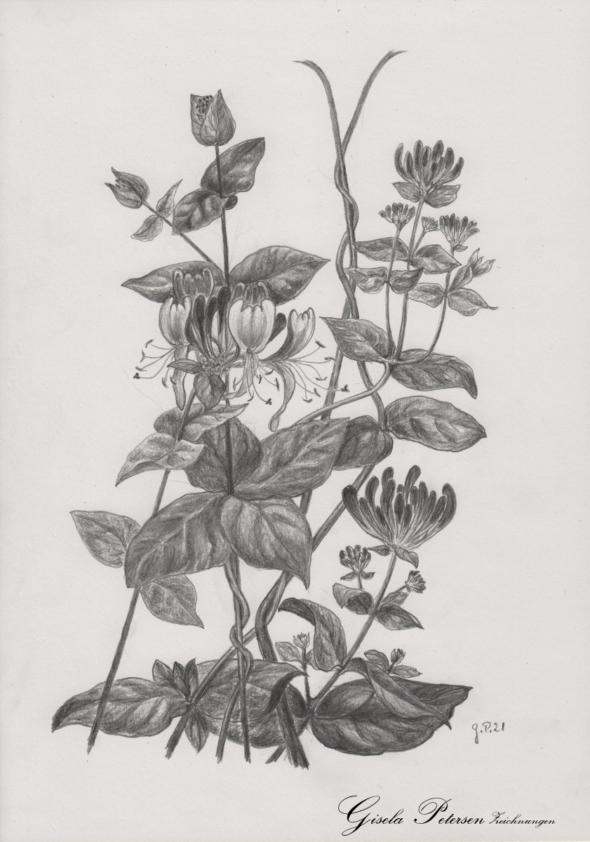 Lonicera americana, Zeichnung mit Bleistift 2B DIN A 4