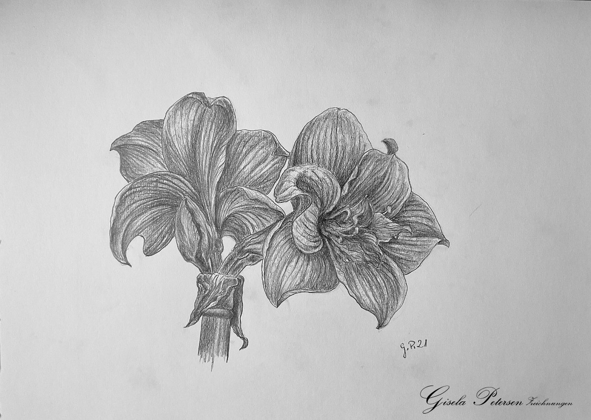 zwei rote Amaryllenblüten Zeichnung mit Bleistiften B4 DIN A3