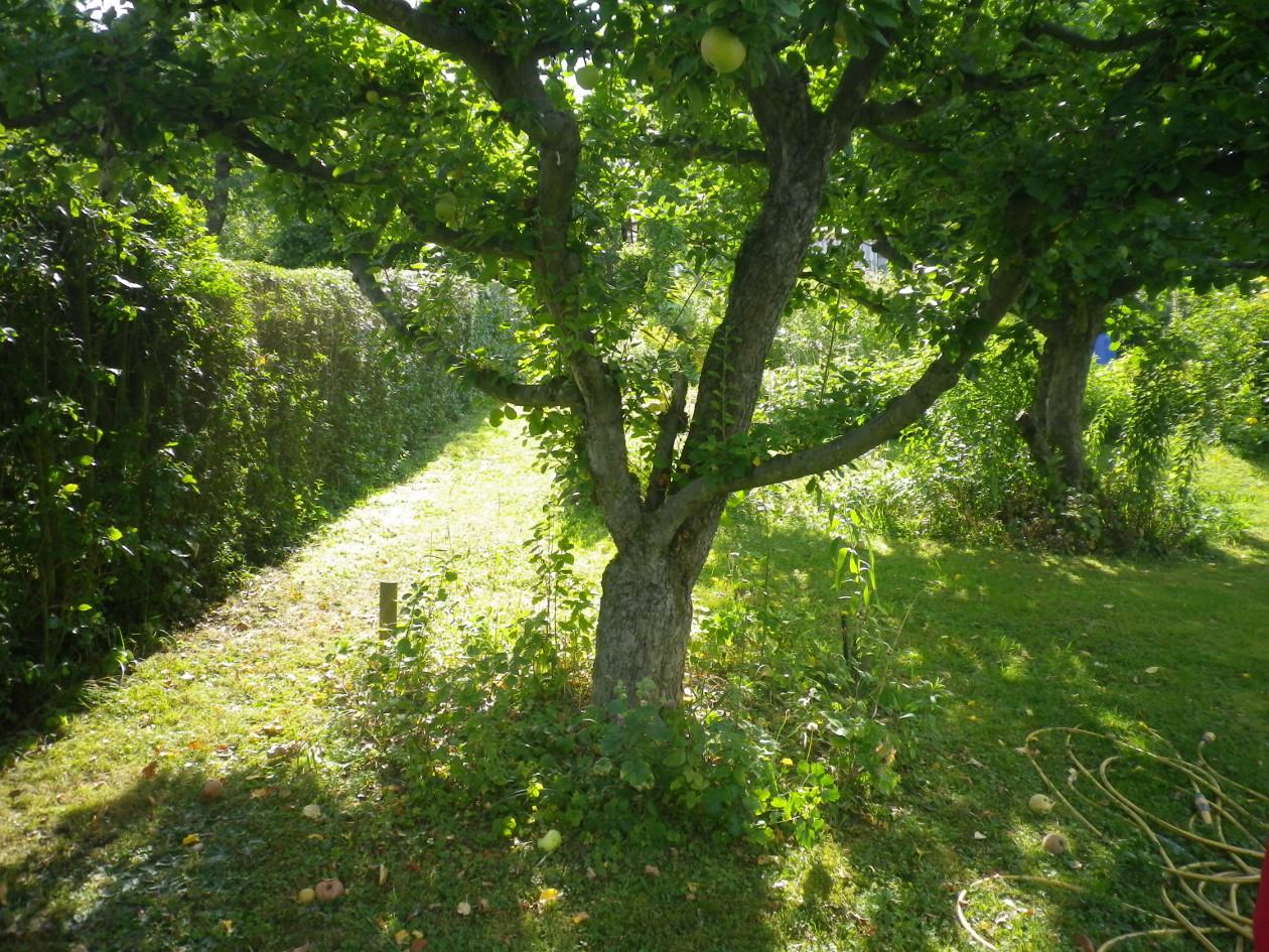 Blick von der Grundstücksmitte hangaufwärts Richtung Norden-2 alteApfelbäume