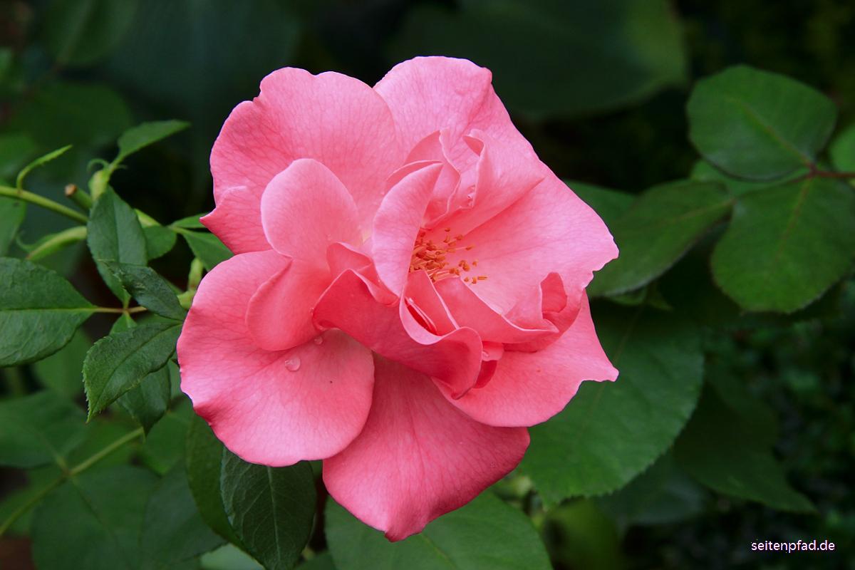 Rose Romanza