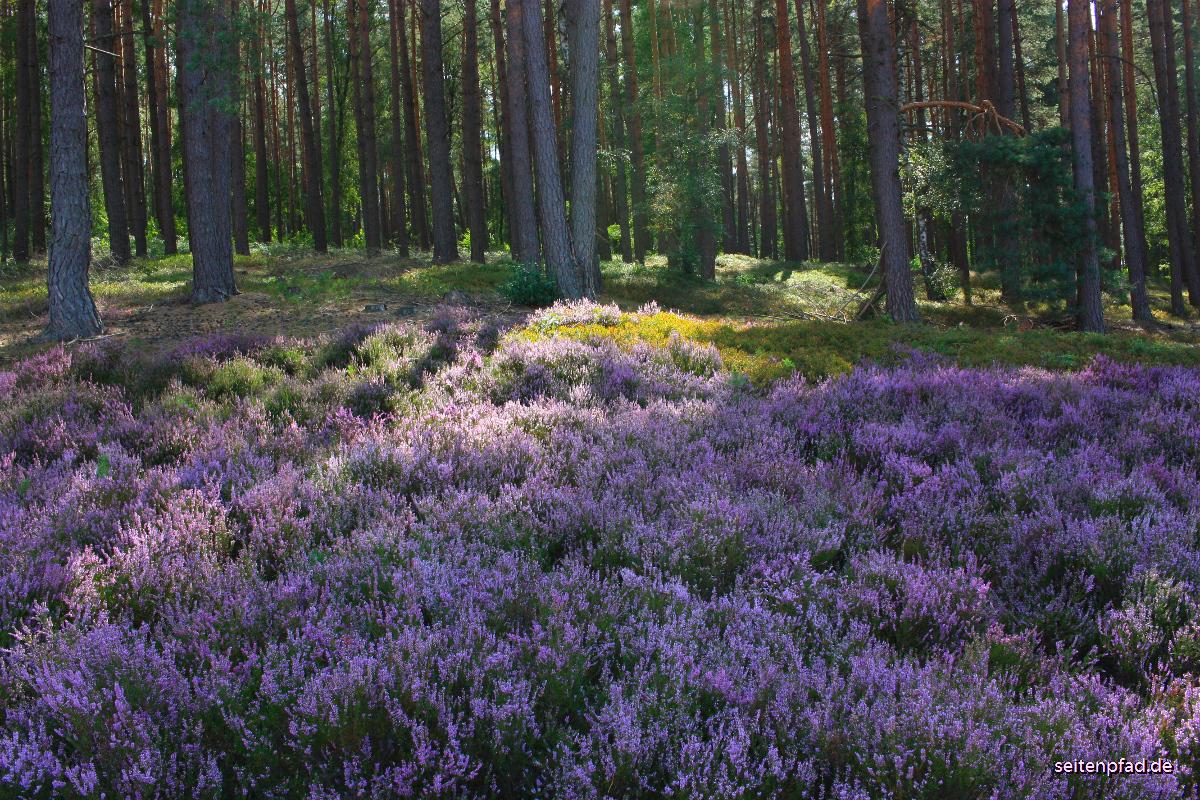 Heideblüte in der Amelinghausener Heide